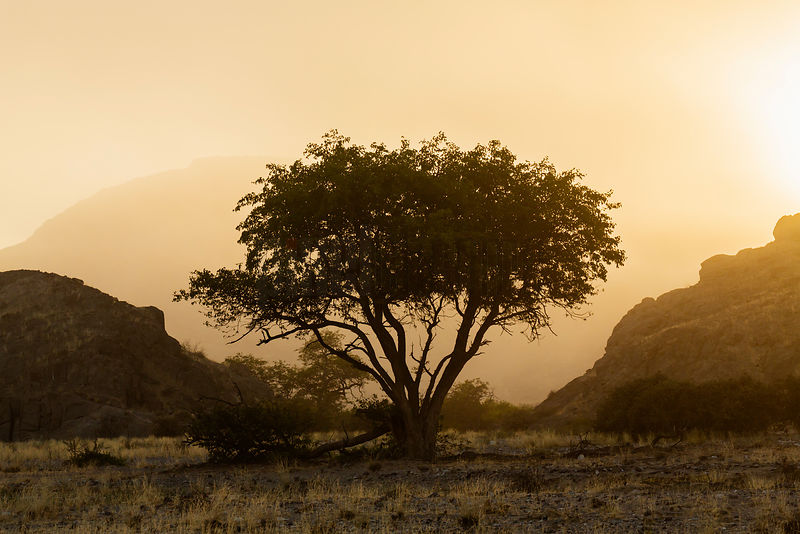 Camelthorn Tree at Sunrise
