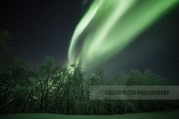 Aurora above frosted trees