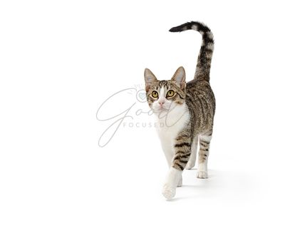 Active Young Cat Walking Forward With Copy Space