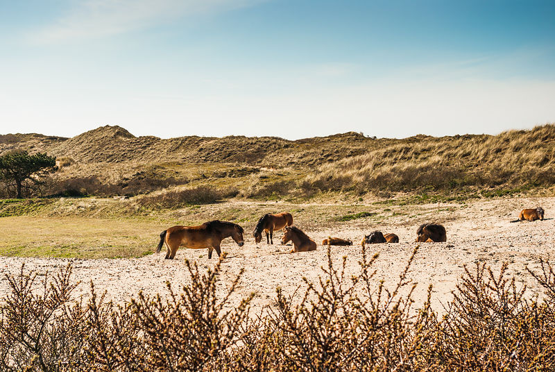 Konik horses in the dunes