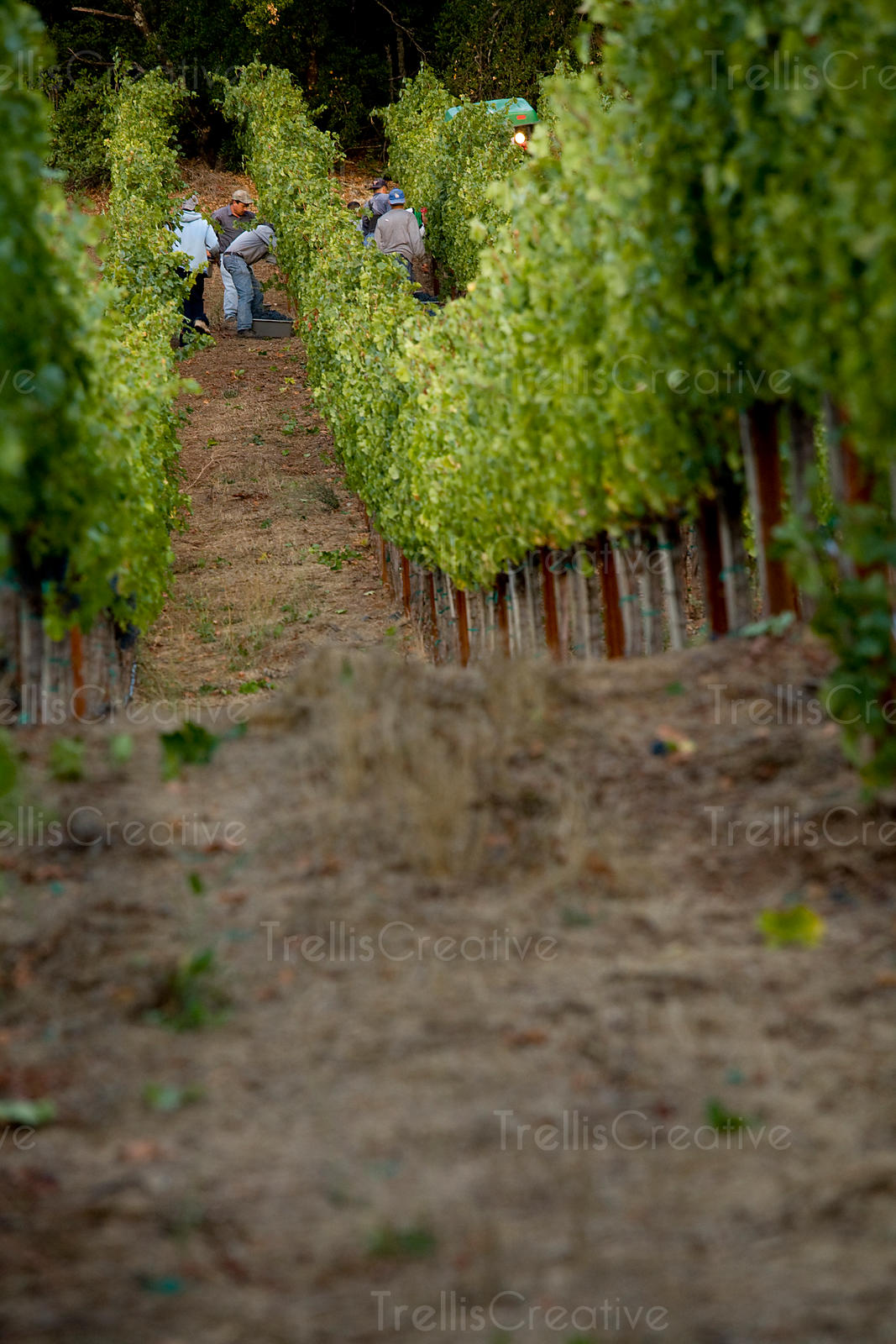 Migrant Latino workers harvest grapes in the shade of a steep mountain vineyard