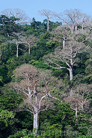 Lowland rainforest and large Cuipo trees in the Darién Panama