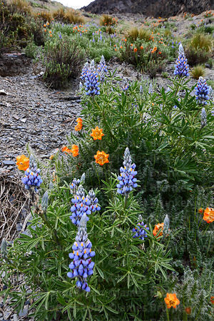 Andean lupinus species and Caiophora / Cajophora horrida flowers, Bolivia