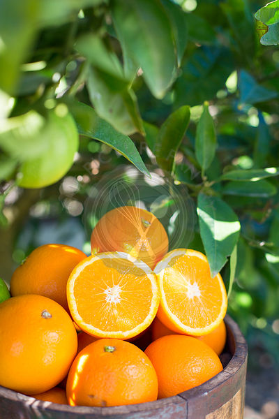 wooden bucket full of oranges against green foliage of an orange tree