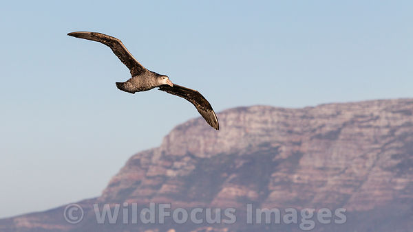 Giant Petrel near Seal Island in False Bay, Simon's Town, South Africa; Landscape