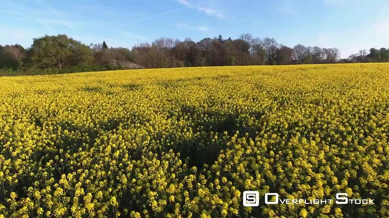 Blooming Yellow Flowers of Rapeseed Farm England