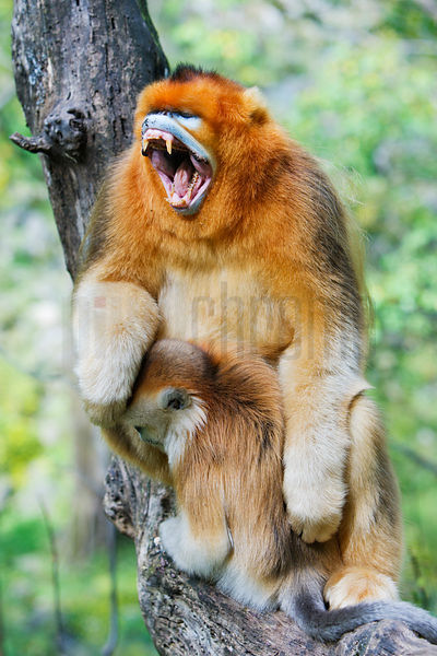 Golden Monkey Yawning