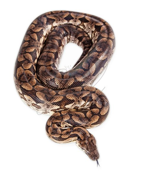 Large Dumeril's Boa Snake - Overhead View