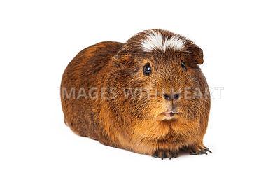Cute Peruvian short hair Guinea Pig