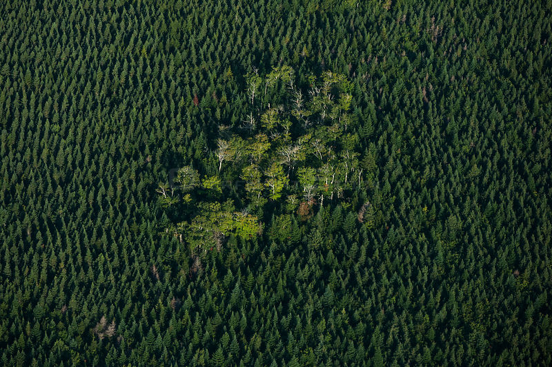 A remnant of natural Acadian forest stands in the middle of a monocuture plantation of spruce trees,  Nova Scotia, Canada, September.