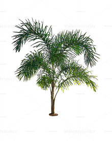 Pupunha palm tree Isolated on white background