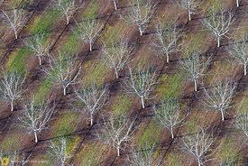 Bare Walnut Trees from the Air #1