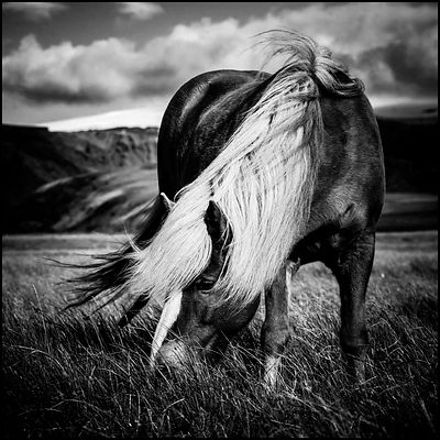 Wild horse in freedom, Iceland 2015 © Laurent Baheux