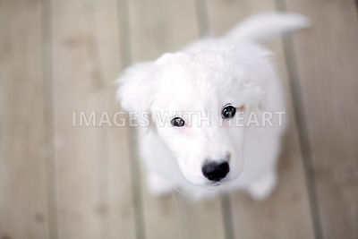 White puppy looking up