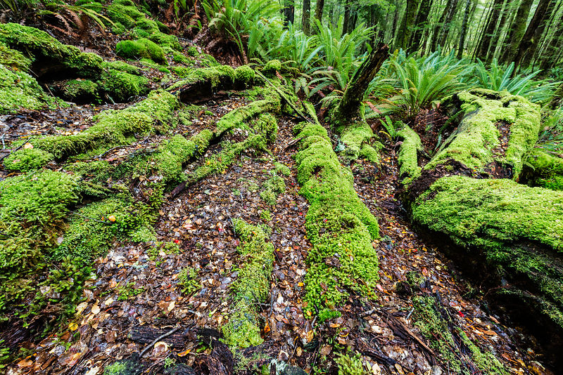 Forest along the Kepler Track near Te Anau - Fiordland National Park, Southland, New Zealand