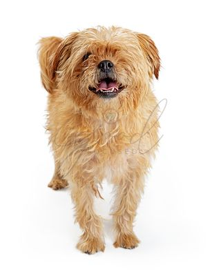 Brown Shaggy One-Eyed Dog Standing