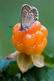 Butterfly and Cloudberry