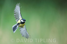 Great Tit  Parus major male in flight Norfolk