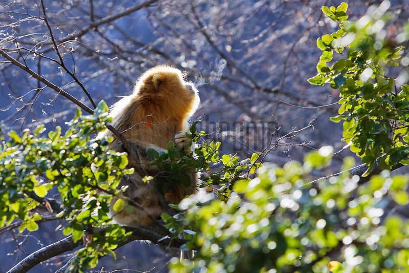 Snub-nosed Golden Monkey Breathing