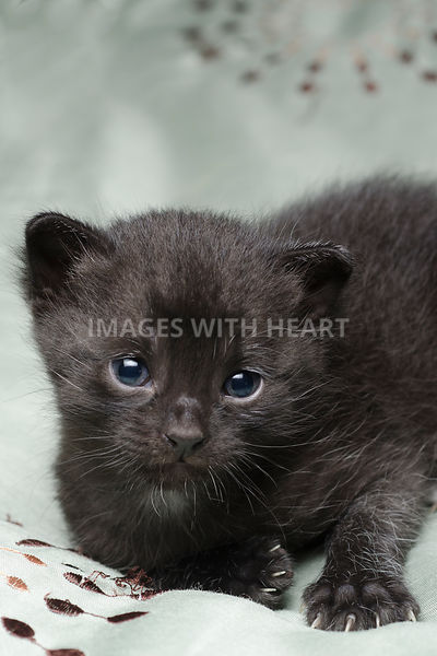 Black kitten looking at the camera