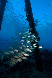 Salt Pier structure pilings and schooling fish, Bonaire, Netherland Antillies
