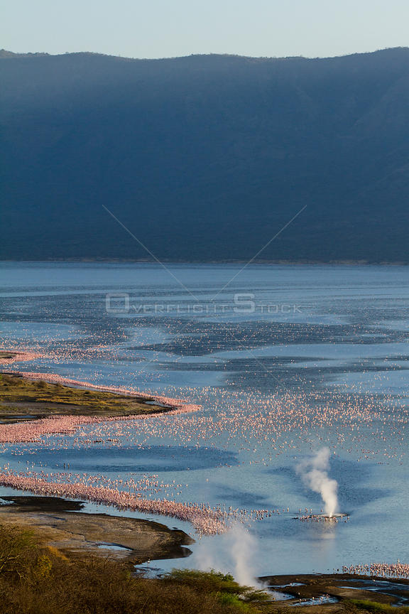 Aerial view of Lesser flamingos (Phoeniconaias minor) on Lake Nakuru, geyser visible in foreground, Kenya.