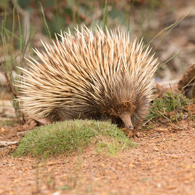 Echidna wildlife photos