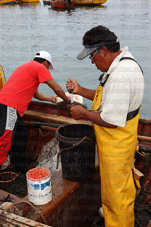Fisherman extracting piure ( sea squirts ) from their casing in fishing docks , Arica , Region XV , Chile