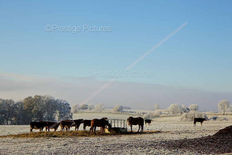 Hungry Horses and cattle feeding on a Frosty morning