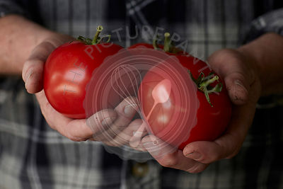 close up photograph of mans hands holding freshly picked, vine ripe red tomatoes, with dirt on his hands, wearing a black and grey flannel shirt