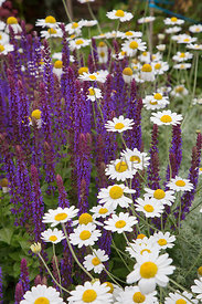 Anthemis & Salvia