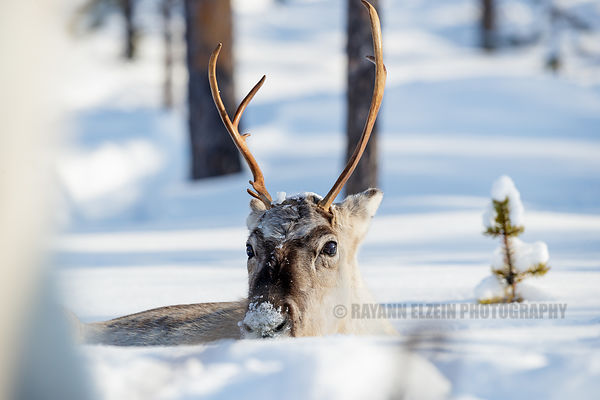Reindeer lying in the snow in Lapland