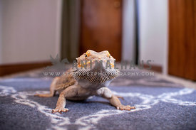 Bearded dragon posing in hallway