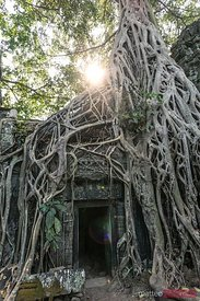 Ta Prohm temple with big tree roots, Angkor Wat, Cambodia