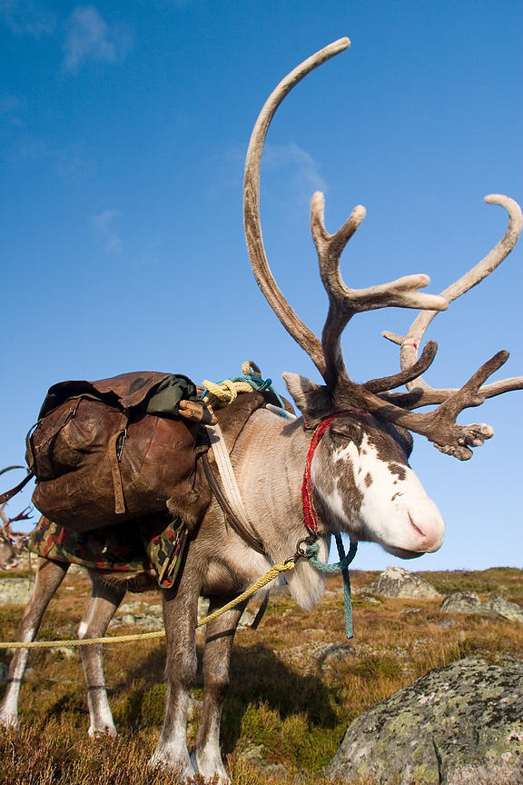 Reindeers photos
