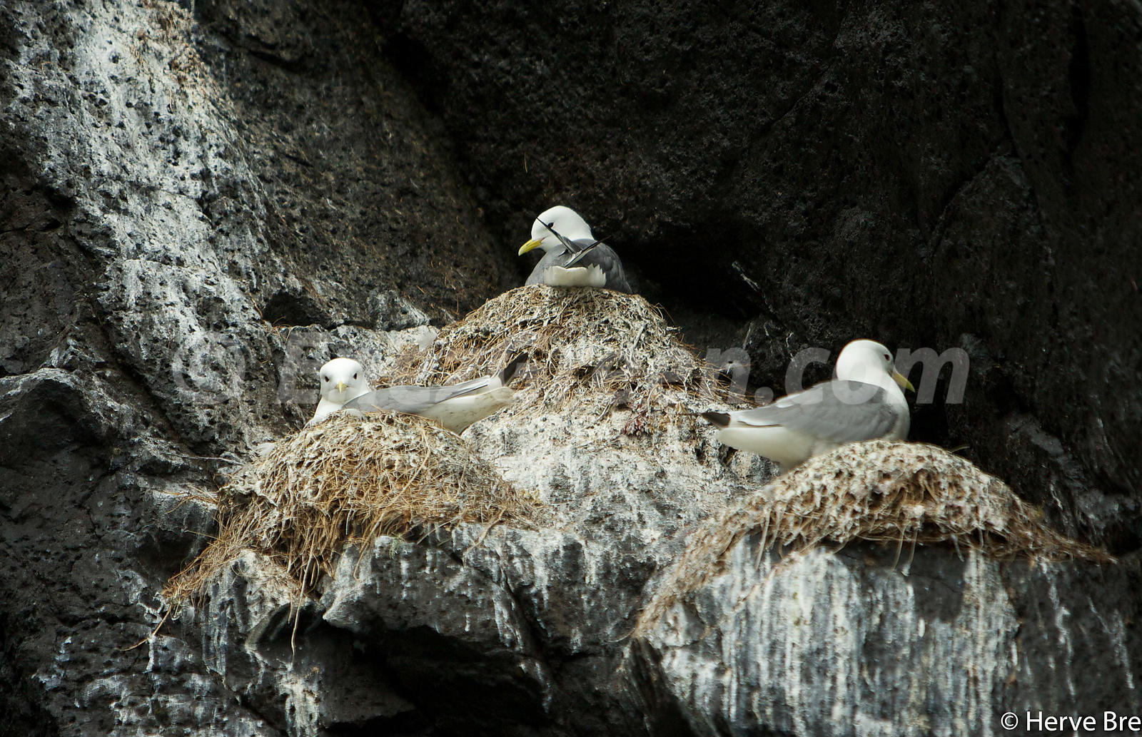 Kittiwakes nesting in Shiant islands