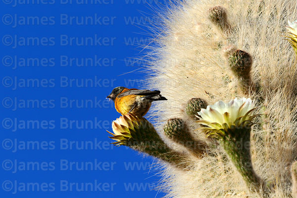 Adult male Black hooded sierra finch (Phrygilus atriceps) on Echinopsis atacamensis (pasacana subspecies) cactus flower