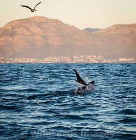 Great White Shark (Carcharodon carcharias) chasing a seal near Seal Island in False Bay, Simon's Town, South Africa; Landscape