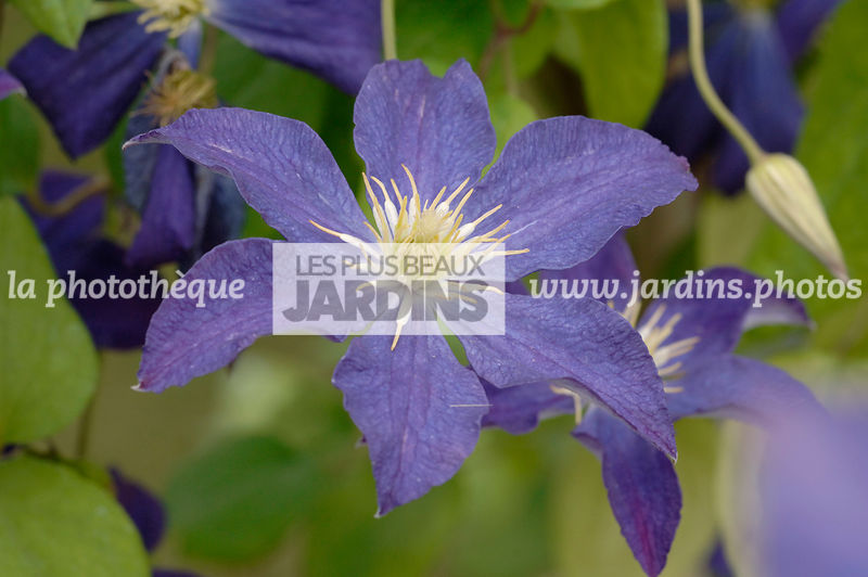 Clematis 'Bonanza' (clématite). Collection Arnaud Travers