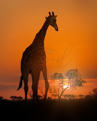 African Giraffe Walking at Sunset