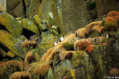 Puffins on an Outer Hebrides islet