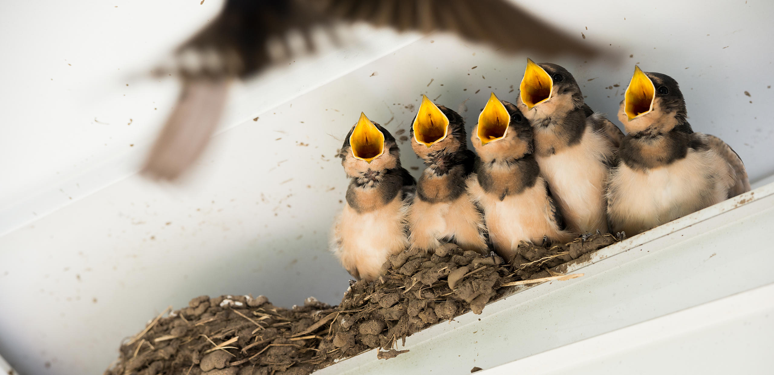 Barn Swallows waiting for a meal