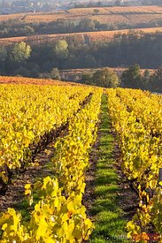 Vineyards, Lantignie, Beaujolais region, Rhone Alpes, France