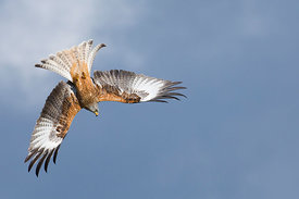 Red Kite Milvus milvus Mid Wales March