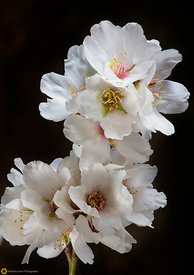 Close Up of Almond Blossoms #5