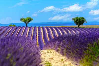 Landscape and lavender field, France