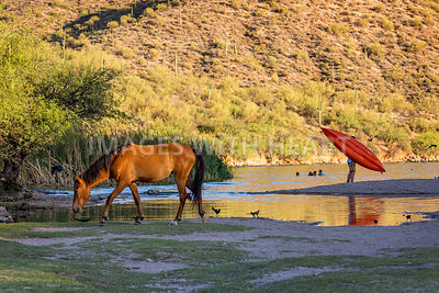 Wild Horse on River With People in Water