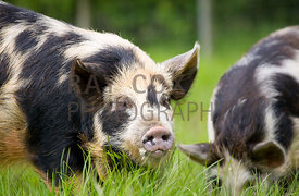 Kunekune pigs (native to New Zealand)