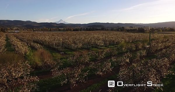 Apple blossoms at sunset, Hood River County, Oregon