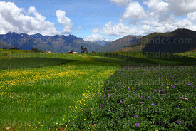 Rapeseed (Brassica napus) and potato plants growing on Chinchero plateau, Cusco Region, Peru